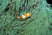 clown-anemonefish;anemonefish;anemonefish-picture;anemone-fish;nemo-fish;amphiprion-percula;great-barrier-reef;australian-anemonefish