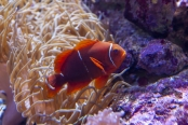 Spine-cheeked Anemonefish