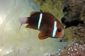 two-banded-anemonefish;barrier-reef-anemonefish;anemonefish-picture;anemonefish;anemone-fish;amphiprion-akindynos