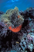 two-banded-anemonefish;barrier-reef-anemonefish;anemonefish-picture;anemonefish;anemone-fish;amphiprion-akindynos;lady-musgrave-island;great-barrier-reef