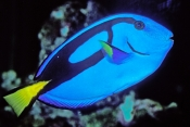 bluetang-fish;bluetang-fish-picture;blue-tang;indo-pacific-bluetang;palette-surgeonfish;surgeonfish;surgeon-fish;great-barrier-reef;blue-fish
