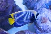 Perciform Fish