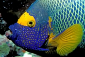 Yellowface Angelfish