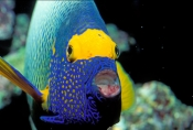 Pomacanthus-xanthometopon;angelfish-picture;angelfish;angel-fish;yellowmask-angelfish;yellow-faced-angel-fish;yellow-faced-angelfish;great-barrier-reef;family-pomacanthidae