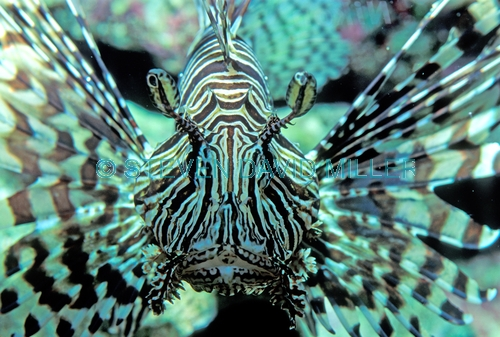 Pterios volitans;firefish;red firefish;fire fish;red fire fish;scorpion fish;lionfish lion fish;great barrier reef