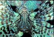 Pterios-volitans;firefish;red-firefish;fire-fish;red-fire-fish;scorpion-fish;lionfish-lion-fish;great-barrier-reef