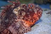 scorpioncod;red-scorpion-cod;Scorpaena-sumptuosa;red-scorpionfish;red-scorpion-fish;scorpion-fish;scorpionfish;perth;aquarium-of-western-australia;perth-auquirium;western-red-scorpioncod