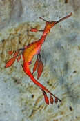 Weedy or Common Seadragon
