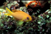 anthias;anthias-picture;fairy-basslet;fairy-basslet-picture;scalefin-anthias;pseudanthias-squamipinnis;great-barrier-reef;yellow-fish;small-fish