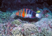 harlequin-tuskfish;tuskfish;tusk-fish;wrasse;lady-elliot-island;great-barrier-reef;colourful-fish;colorfish;striped-fish;blue-and-orange-fish;fish-teeth