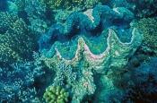 Tridacna Clams