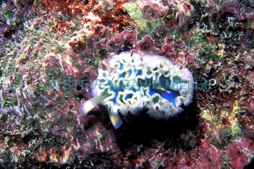 lettuce sea slug;sea slug;marine gastropod mollusk;gastropod;marine slug;colorful sea slug;florida keys marine sanctuary;florida keys coral reef;florida keys marine life;florida keys
