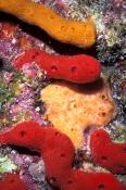 encrusiting-sponge;encrusting-sponges;orange-encrusting-sponge;red-encrusting-sponge;florida-keys-coral-reef;florida-keys-marine-life;florida-keys-marine-sanctuary;invertebrate-life;invertebrates
