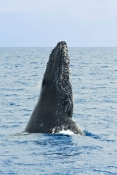 humpback-whale;megaptera-novaeangliae;humpback-whale-breaching;humpback-whale-leaping;humpback-whale-watching;hervey-bay;queensland;whale-watching;hervey-bay-whale-watching