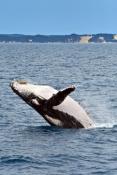 humpback-whale;megaptera-novaeangliae;humpback-whale-breaching;humpback-whale-leaping;humpback-whale-watching;hervey-bay;fraser-island;platypus-bay;queensland;hervey-bay-whale-watching;whale-watching