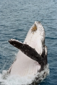 humpback-whale;megaptera-novaeangliae;humpback-whale-breaching;humpback-whale-leaping;humpback-whale-head-out-of-water;humpback-whale-watching;hervey-bay;queensland;whale-watching;hervey-bay-whale-watching
