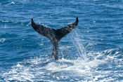humpback-whale-calf;megaptera-novaeangliae;humpback-whale-calf-playing;humpback-whale-calf-tail-slapping;hervey-bay;queensland;humpback-whale-tail;humbback-whale-tail-slapping;whale-tail-slapping;hervey-bay-whale-watching