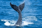 humpback-whale-calf;megaptera-novaeangliae;humpback-whale-calf-playing;humpback-whale-calf-tail-slapping;hervey-bay;queensland;whale-tail-slapping;tail-slapping;hervey-bay-whale-watching
