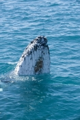 humpback-whale;megaptera-novaeangliae;humpback-whale-spyhopping;barnacles-on-whale;humpback-whale-top-of-head;humpback-whale-tubercles;hervey-bay;queensland;whale-spyhopping;whale-watching;hervey-bay-whale-watching;humpback-whale-watching