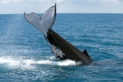 humpback-whale;megaptera-novaeangliae;humpback-whale-tale-slapping;humpback-whale-tail;humpback-whale-tail-slapping-sequence;hervey-bay;queensland;steven-david;whale-tail;whale-watching;hervey-bay-whale-watching;humpback-whale-watching