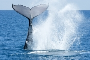 humpback-whale;megaptera-novaeangliae;humpback-whale-tale-slapping;humpback-whale-tail;hervey-bay;queensland;steven-david;whale-tail;whale-watching;hervey-bay-whale-watching;humpback-whale-watching