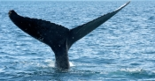 humpback-whale;megaptera-novaeangliae;humpback-whale-tail;humpback-whale-watching;whale-tail;tail;hervey-bay;queensland;whale-watching;hervey-bay-whale-watching