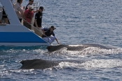 humpback-whale;megaptera-novaeangliae;humpback-whale-looking-at-boat;hervey-bay;queensland;whale-watching;hervey-bay-whale-watching;humpback-whale-watching