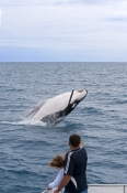 humpback-whale;megaptera-novaeangliae;humpback-whale-breaching;humpback-whale-leaping;humpback-whale-watching;hervey-bay;queensland;whale-watching;humpback-whale-tail;hervey-bay-whale-watching