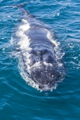 humpback-whale;megaptera-novaeangliae;humpback-whale-surfacing;humpback-whale-top-of-head;hervey-bay;queensland;whale-watching;hervey-bay-whale-watching;humpback-whale-watching
