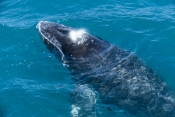 humpback-whale;megaptera-novaeangliae;humpback-whale-surfacing;humpback-whale-exhaling;humpback-whale-breathing;hervey-bay;queensland;humpback-whale-blowhole;whale-watching;hervey-bay-whale-watching;humpback-whale-watching