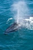humpback-whale;megaptera-novaeangliae;humpback-whale-surfacing;humpback-whale-exhaling;hervey-bay;queensland;whale-exhaling;whale-blowhole;whale-breathing;whale-watching;hervey-bay-whale-watching;humpback-whale-watching