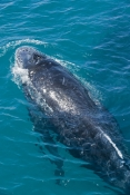 humpback-whale;megaptera-novaeangliae;humpback-whale-surfacing;humpback-whale-top-of-head;humpback-whale-tubercles;hervey-bay;queensland;whale-watching;hervey-bay-whale-watching;humpback-whale-watching