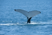 Tail-sailing, Tail-slapping, Whale Tails