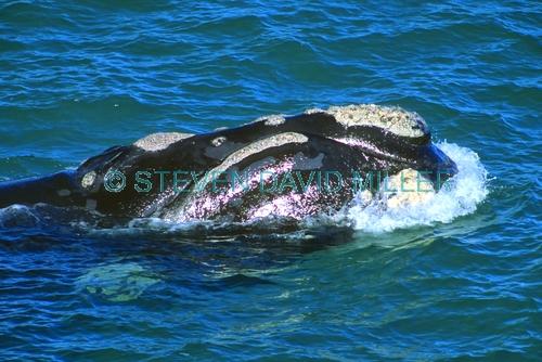southern right whale picture;southern right whale;right whale;eubalaena australis;southern right whale head;southern right whale swimming;great australian bight marine park;yalata;south australia;steven david miller