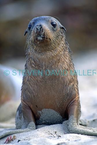 australia sea lion picture;australian sea lion;australian sea lion pup;sea lion;australian seal;seal bay conservation park;kangaroo island;cute baby animal picture;cute baby animal;cute animal