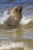australian-sea-lion-picture;australian-sea-lion;male-sea-lion;sea-lion;sea-lion;australian-seals;seal;aneophoca-cinereal;sammy-the-sea-lion;esperance