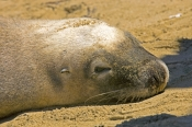 australia-sea-lion-picture;australian-sea-lion;sea-lion;sea-lion;seal;australian-seals;sea-lion-head;sea-lion-head;seal-head;australian-sea-lion-ear