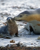 australia-sea-lion-picture;australian-sea-lion;australian-sea-lion-mother-and-pup;sea-lion;australian-seal;seal-bay-conservation-park;kangaroo-island;cute-baby-animal-picture;cute-baby-animal;cute-animal;animals-kissing;mother-kissing-baby-animal