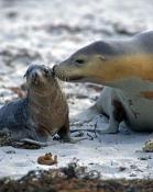 australia-sea-lion-picture;australian-sea-lion;australian-sea-lion-mother-and-pup;sea-lion;australian-seal;seal-bay-conservation-park;kangaroo-island;cute-baby-animal-picture;cute-baby-animal;cute-animal;animals-kissing;mother-kissing-baby-animal