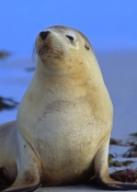 australia-sea-lion-picture;australian-sea-lion;australian-sea-lion-female;sea-lion;australian-seal;seal-bay-conservation-park;kangaroo-island;sea-lion-sunning;sea-lion-portrait