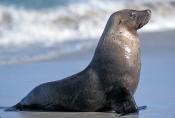 australia-sea-lion-picture;australian-sea-lion;australian-sea-lion;sea-lion;australian-seal;seal-bay-conservation-park;kangaroo-island;sea-lion-sunning;sea-lion-portrait