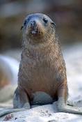 australia-sea-lion-picture;australian-sea-lion;australian-sea-lion-pup;sea-lion;australian-seal;seal-bay-conservation-park;kangaroo-island;cute-baby-animal-picture;cute-baby-animal;cute-animal