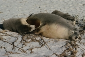 neophoca-cinerea;sea-lion;sea-lion;sealion;seal-bay-conservation-park;AUSTRALIA;BABIES;BEACHES;CARNIVORES;COASTS;FAMILIES;FUR;MAMMALS;MOTHER-BABY;PINNIPEDS;SLEEPING;VERTEBRATES