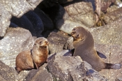 new-zealand-fur-seal-picture;new-zealand-fur-seal;fur-seal;arctocephalus-forsteri;fur-seal-looking-in-camera;new-zealand-seal;cape-foulwind-fur-seals;westport;marine-mammals;south-island;new-zealand;steven-david-miller