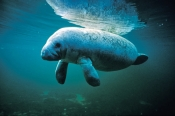 manatee-picture;manatee;west-indian-manatee;florida-manatee;manatee-springs;manatee-state-park;central-florida-manatee;manatee-swimming;marine-mammal;north-american-marine-mammal