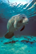 manatee-picture;manatee;west-indian-manatee;florida-manatee;crystal-river-manatee;kings-bay-manatee;three-sisters-spring-manatee;central-florida-manatee;manatee-scratching;marine-mammal;north-american-marine-mammal