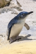 little-penguin-picture;little-penguin;fairy-penguin;smallest-penguin-species;eudyptula-minor;australia-penguin;little-penguin-standing;perth-zoo;western-australia;species-of-least-concern;steven-david-miller;natural-wanders