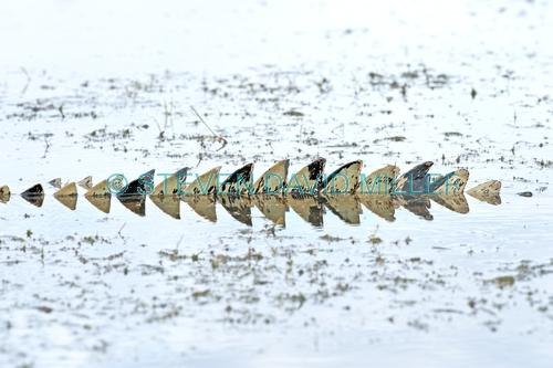estuarine crocodile tail picture;estuarine crocodile tail;saltwater crocodile tail;crocodile;crocodylus porosus;man-eating crocodile;dangerous crocodile;australian crocodile;crocodile mouth;swimming;crocodile in water;corroboree billabong;mary river;mary river wetland;northern territory;australia;steven david miller