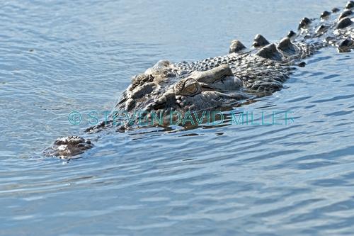 estuarine crocodile picture;estuarine crocodile;saltwater crocodile;crocodile;crocodylus porosus;man-eating crocodile;dangerous crocodile;australian crocodile;crocodile mouth;swimming;crocodile in water;corroboree billabong;mary river;mary river wetland;northern territory;australia;steven david miller