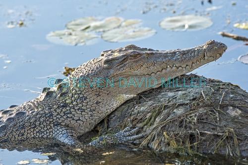 esturine crocodile picture;estuarine crocodile;saltwater crocodile;crocodile;crocodylus porosus;man-eating crocodile;dangerous crocodile;australian crocodile;crocodile sunning itself;crocodile head;crocodile out of water;yellow waters;east alligator river;kakadu national park;northern territory;australia;steven david miller